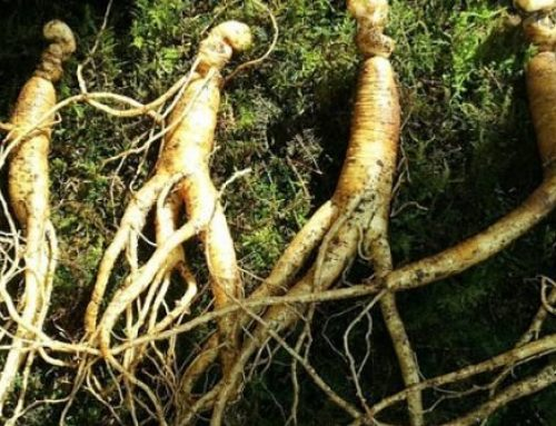 Scientist found a new way of ginseng extraction